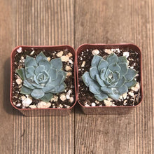 Echeveria Blue Mist - 2 inch | Small Pack - Harddy.com