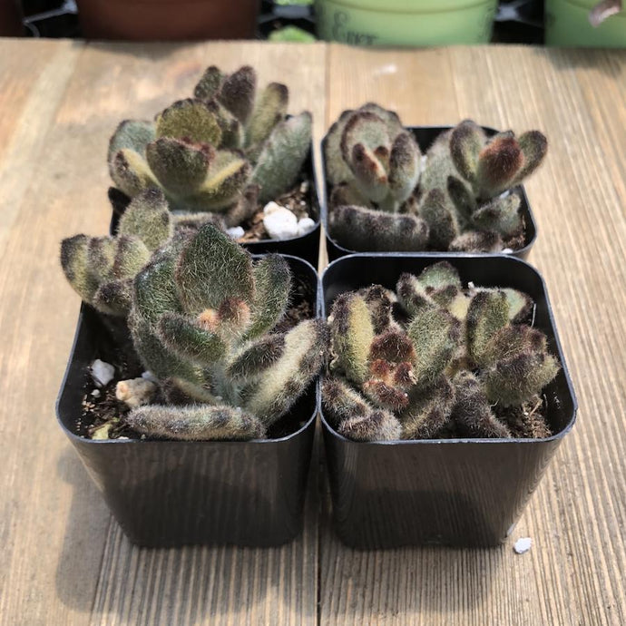 Kalanchoe Tomentosa - Teddy Bear - 2 inch | Small Pack - Harddy.com