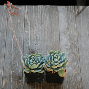 Echeveria Blue Fairy - 2 Inch | Small Pack - Harddy.com