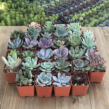 Rosette Succulents - Special Sale (32 Pack) | Large Pack - Harddy.com