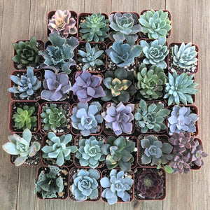 Rosette Succulents (32 Pack) | Large Pack - Harddy.com
