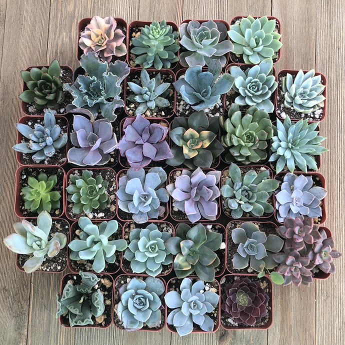 Rosette Succulents (32 Pack) | Pack | Harddy