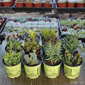 Assorted Crassula - Jade Plants Collection - 4 Inch | Pack | Harddy