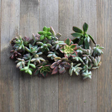 5/10/15/20/30 Assorted Rosette Succulent Cuttings