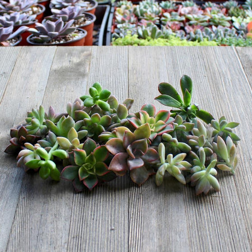 5/10/15/20/30 Assorted Rosette Succulent Cuttings | Pack | Harddy
