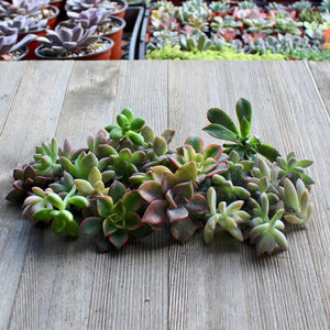 5/10/15/20/30 Assorted Rosette Succulent Cuttings | Cuttings - Harddy.com