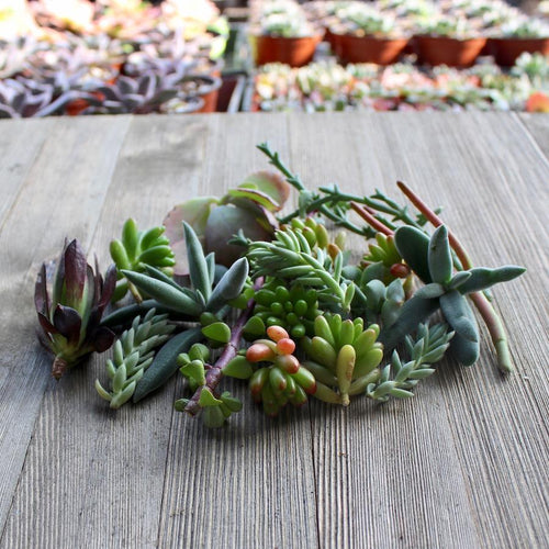 5/10/15/20/30 Assorted Succulent Cuttings