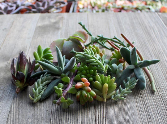 5/10/15/20/30 Assorted Succulent Cuttings | Cuttings - Harddy.com