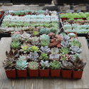 35/40/45/50 Pack of Rosette 2 inch Succulent Plants