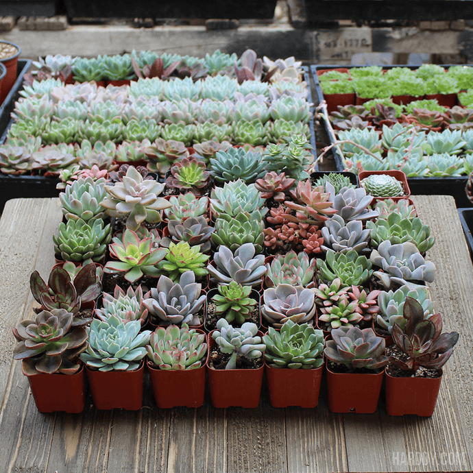 Assorted Rosette 2 inch Succulent Plants | Large Pack | Harddy