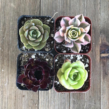 Amazing Aeonium Succulent Collection | Pack | Harddy