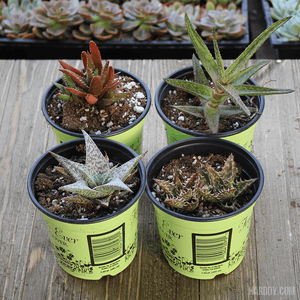 Assorted Aloe Packs -2 Inch | Pack | Harddy