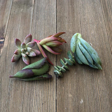5/10/15/20/30 Assorted Succulent Cuttings | Pack | Harddy