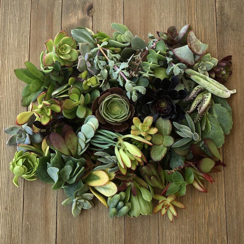 40/50/60/70 Assorted Succulent Cuttings | Pack | Harddy