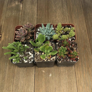 Assorted Premium 2 inch Succulent Plants | Pack | Harddy