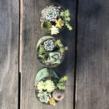 Baby Boy Shower Succulents | Pack | Harddy