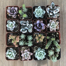 Baby Girl Shower Succulents | Pack | Harddy