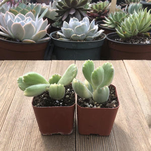 Bear Paw Fuzzy Succulent - Cotyledon tomentosa | Plant | Harddy