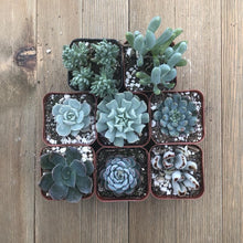 Beautiful Blue Succulent Collection | Pack | Harddy