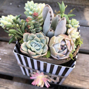 Bridal Wedding Shower Succulents | Pack | Harddy