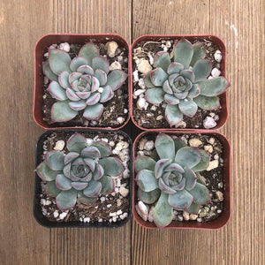Echeveria Captain Hay - 2 inch | Plant | Harddy