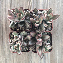 Kalanchoe Chocolate Soldier | Plant | Harddy