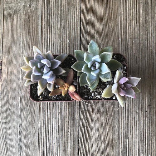Colorful Mini Succulent Arrangement - Two in Two | Plant | Harddy