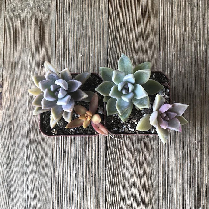 Colorful Mini Succulent Arrangement - Two in Two | Small Pack | Harddy