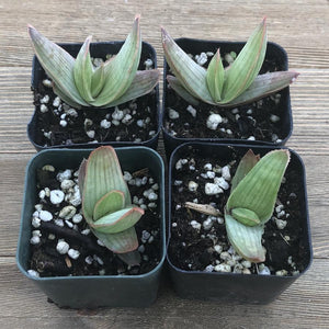 Coral Aloe Striata | Small Pack | Harddy