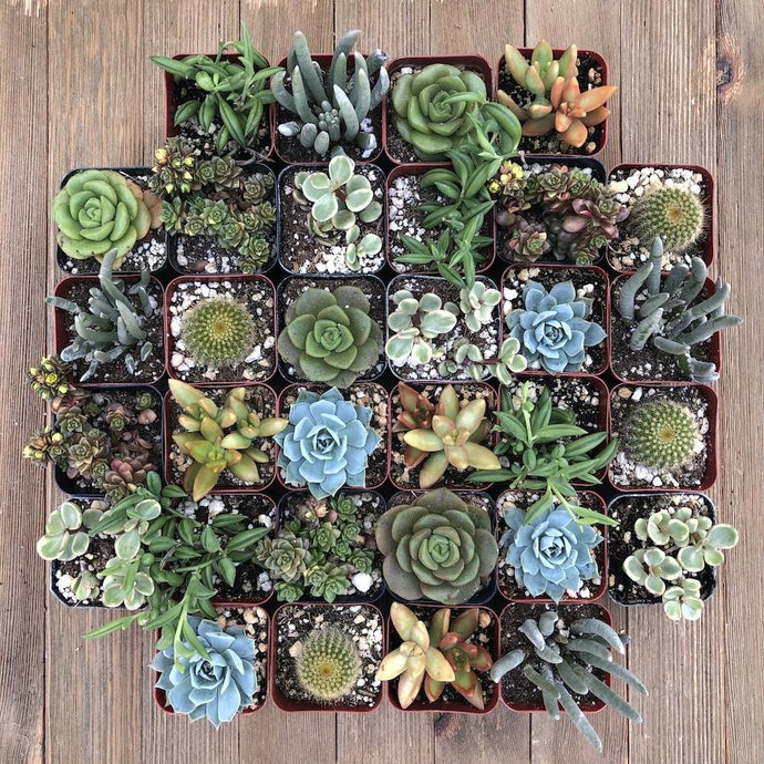 Corporate Gift Succulents | Pack | Harddy