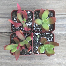 Campfire Crassula - 2 Inch | Pack | Harddy