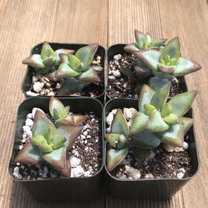 Crassula Rupestris - High Voltage - 2 inch | Small Pack - Harddy.com