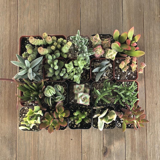 Cute Crassula Succulent Collection | Pack | Harddy