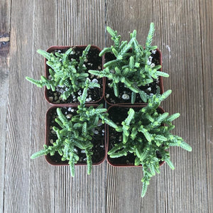 Watch Chain - Crassula muscosa - 2 inch | Plant | Harddy