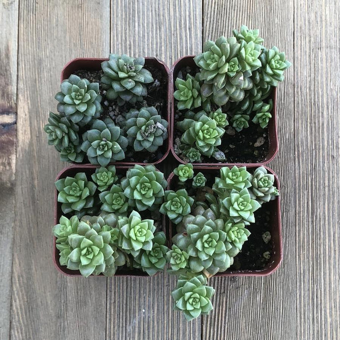 Little Gem Succulents - Cremnosedum - Perfect for Terrariums | Plant | Harddy