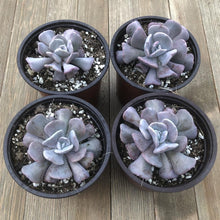 Cubic Frost Echeveria - 4 Inch | Plant | Harddy