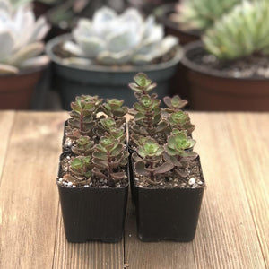 Dragons Blood Sedum - Red Sedum spurium Stonecrop - 2 inch | Small Pack - Harddy.com