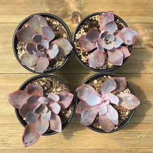 Echeveria Afterglow - 4 inch | Small Pack - Harddy.com