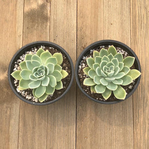 Echeveria Blue Atoll - 4 inch | Small Pack - Harddy.com