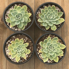Echeveria Blue Atoll - 4 inch | Small Pack | Harddy