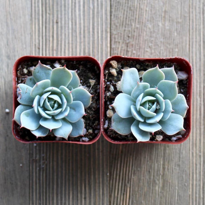 Echeveria Domingo - Domingo Hen and Chicks | Small Pack | Harddy