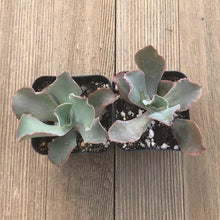 Echeveria Giant Blue - 2 Inch | Small Pack - Harddy.com