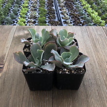 Echeveria Giant Blue | Small Pack - Harddy.com