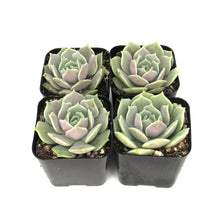 Echeveria Lola - Mexican Hen and Chicks | Small Pack - Harddy.com