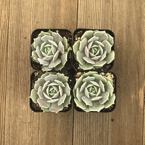 Echeveria Lola - Mexican Hen and Chicks | Small Packs - Harddy.com