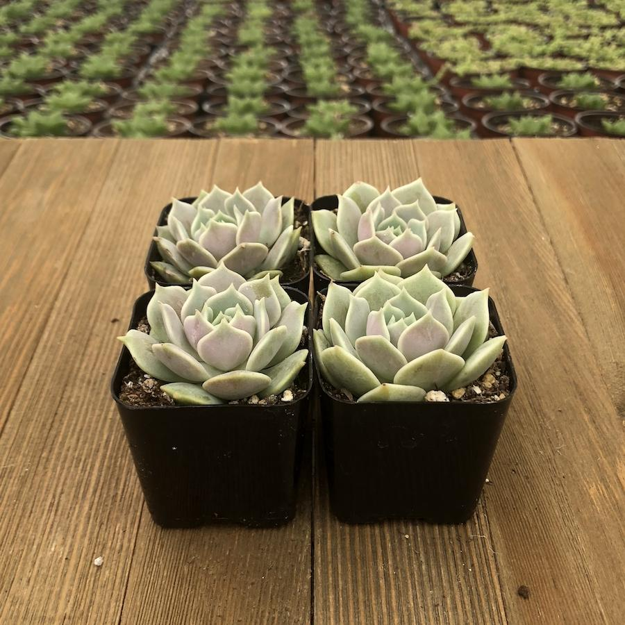 Echeveria Lola Mexican Hen And Chicks For Sale Online Harddy