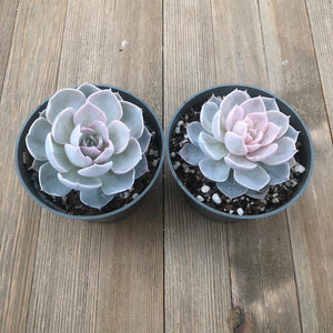 Echeveria Morning Beauty subsessilis - 4 pulgadas | Planta | Harddy