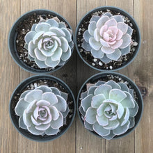 Echeveria Morning Beauty subsessilis - 4 Plants - 4 inch | Small Pack - Harddy.com