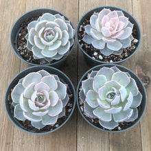 Echeveria Morning Beauty subsessilis - 4 inch | Plant | Harddy
