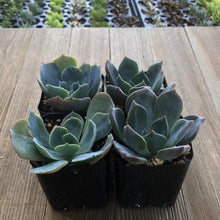 Echeveria Princess Blue | Plant | Harddy